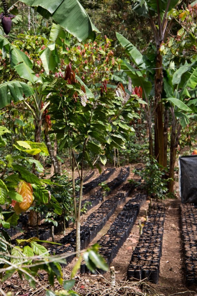 Oro Chocolate 012001-683x1024 Cacao Reforestation